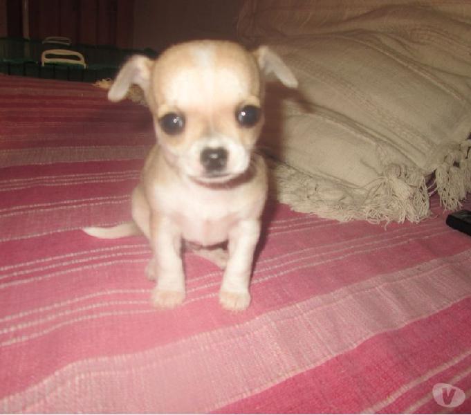 Chihuahua toy cuccioli catania