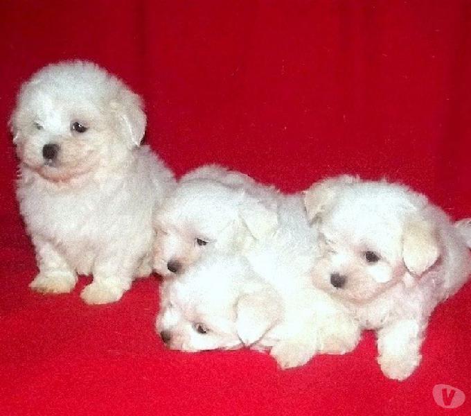 Maltese, cuccioli di taglia piccola