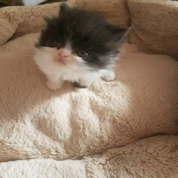 Cucciola femmina di persiano