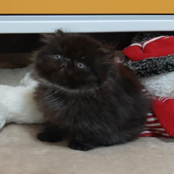 Persiani ipertipici gattini