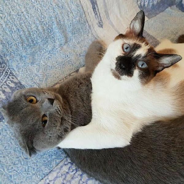 Regalo gatto incrocio siamese