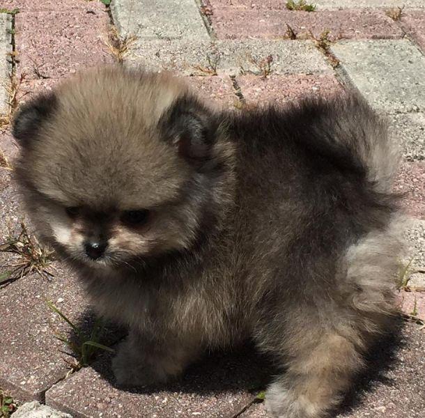 Cucciolo di Volpino Pomerania...
