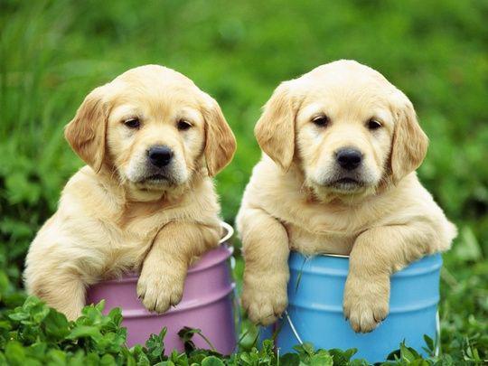 Disponiamo di una cucciolata di Labrador,