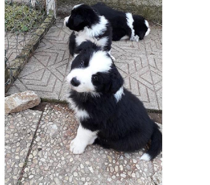 Border collie cuccioli alta genealogia