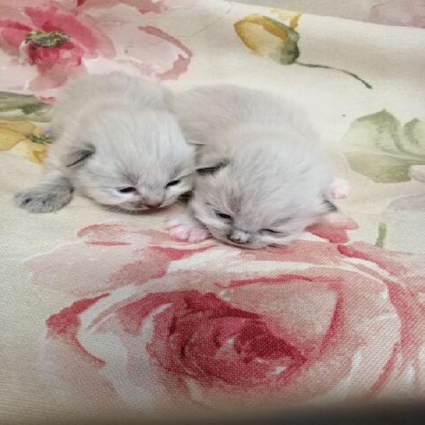 Gattini siberiani ipoallergenici