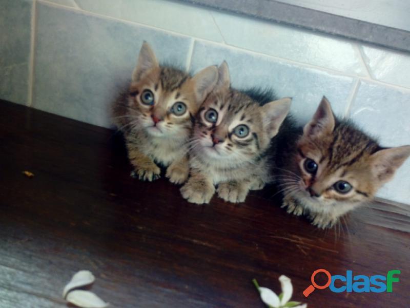 Gattini e gattine tigrati