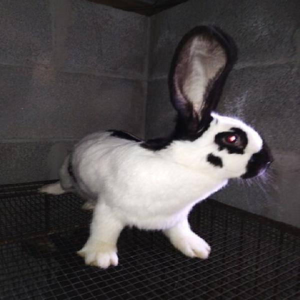 Conigli gigante pezzato