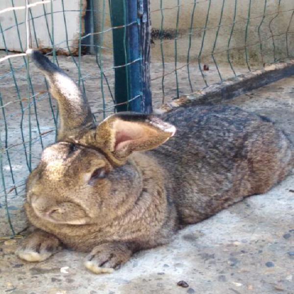 Conigli giganti di fiandra