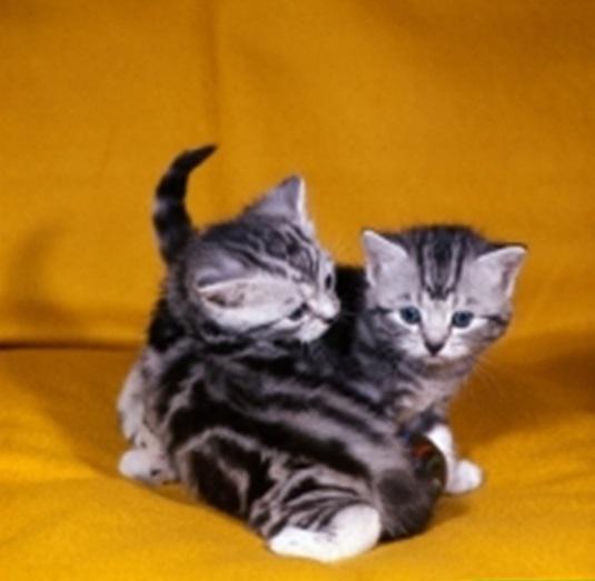 Spettacolari cuccioli british shorthair colori rari