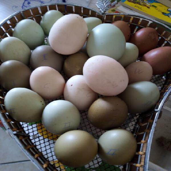 Vendo uova feconde di galline ornamentali