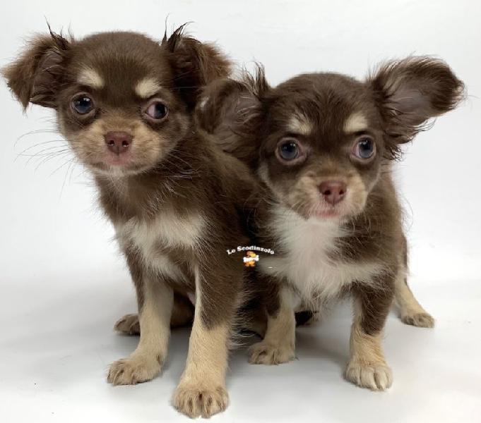 Chihuahua toy choco