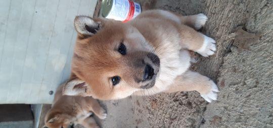 Cuccioli shiba inu cane shiba inu gussago