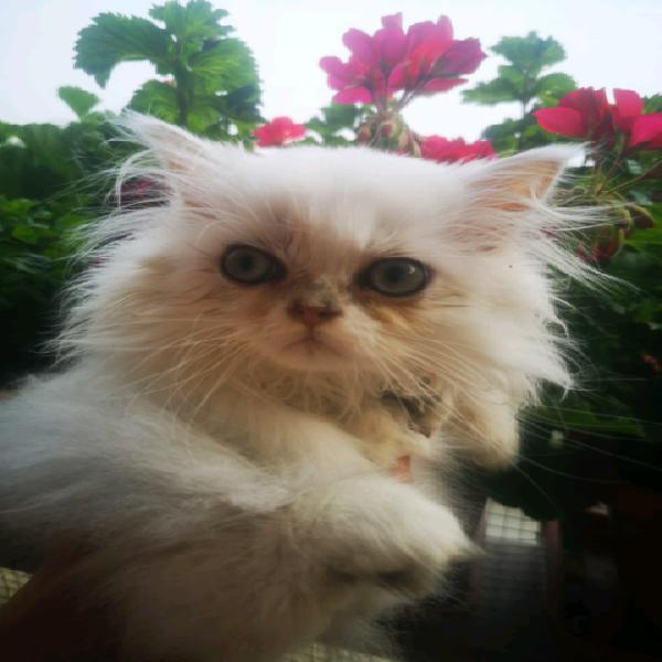Cuccioli persiano chincillà