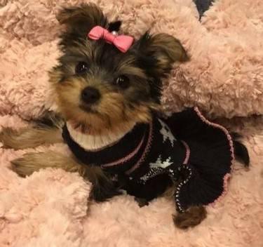 Splendidi cuccioli di razza terrier di razza completa