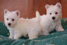 West highland white terrier ☮ puppies✔ ✔💕
