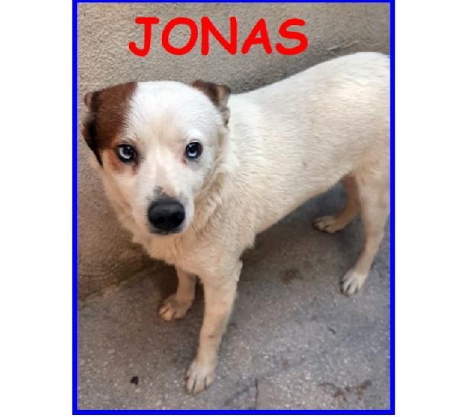 Jonas simil jack russel 3 anni, 10 kg, occhi unici e partico