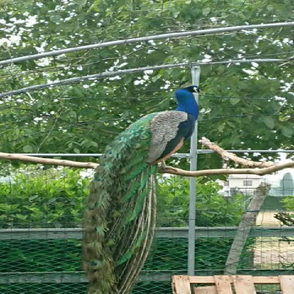 Pavone blu -india