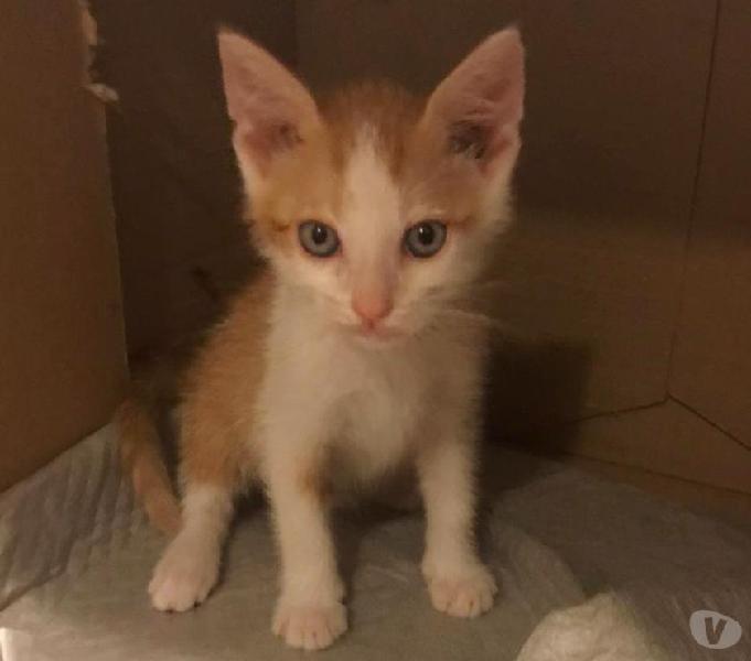 Tino, 60 gg, bianco e rosso, dolcezza di gattino in adozione