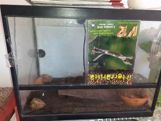 Heterometrus petersii adulto con terrario allestito