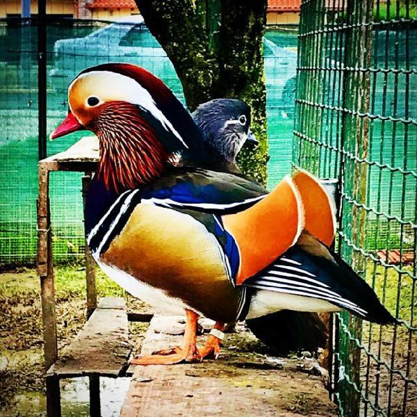 Avicoli ornamentali