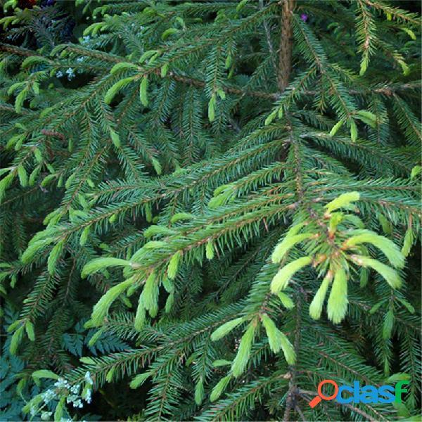 Egrow 60 pz / pacco semi di asperata picea asperata abete semente pianta abete