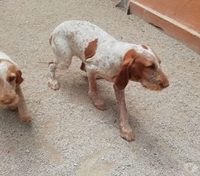 Radura: cucciola incrocio bracco italiano