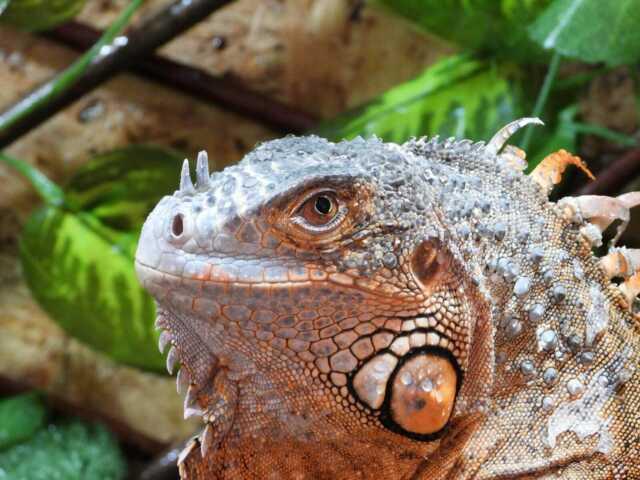 Iguana rossa