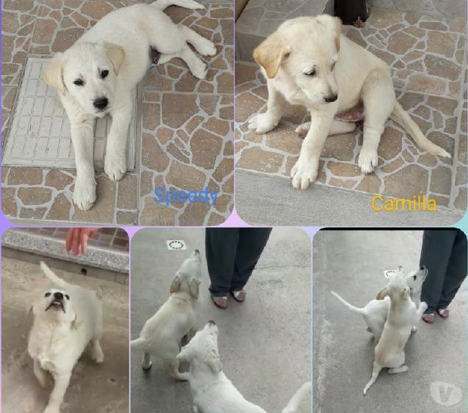 Due bellissimi cuccioli mix labrador