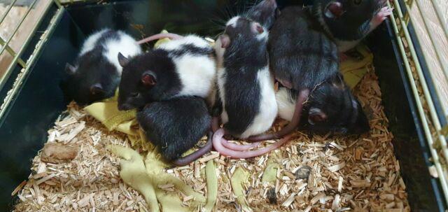 Splendidi ratti da compagnia