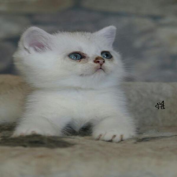 British shorthair cucciolo