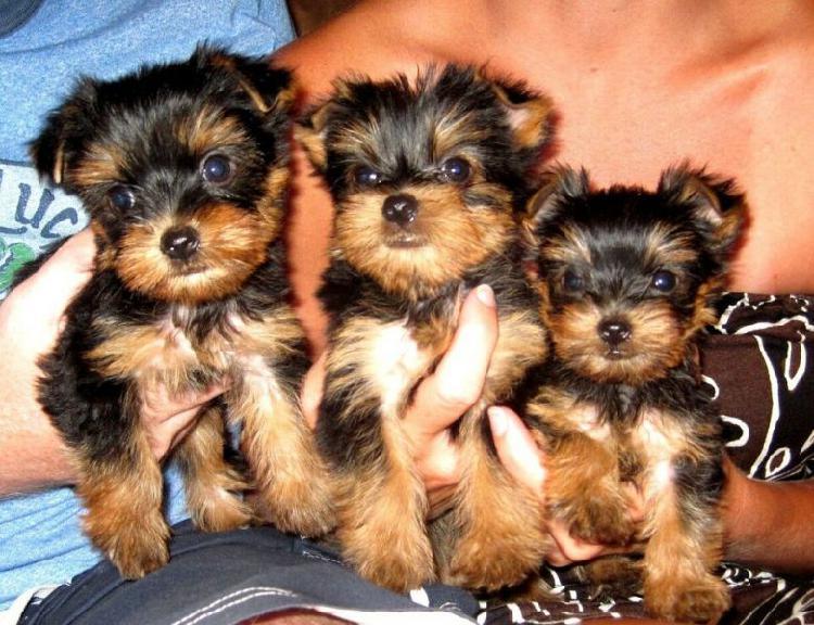 Regalo regalo piccoli cuccioli di yorkshire terrier toy