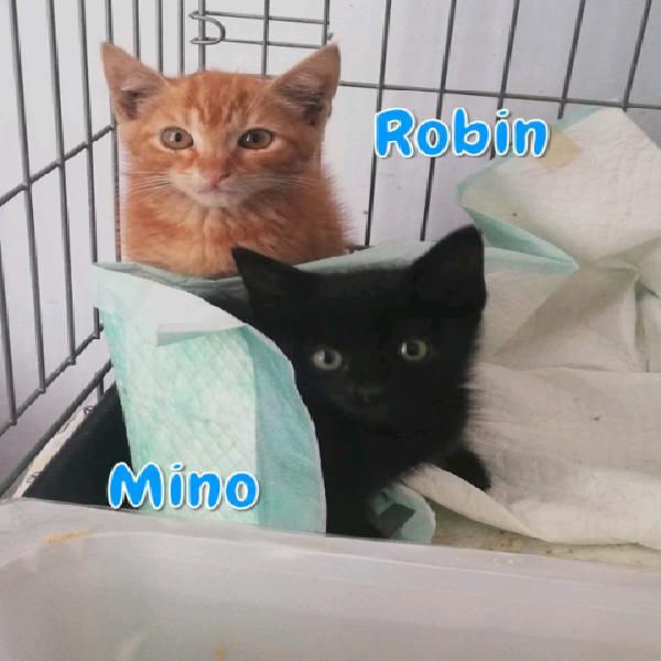 Robin e Mino gattini di tre mesi