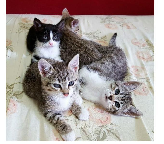Gattini europei trovatelli maschi e femmine in regalo