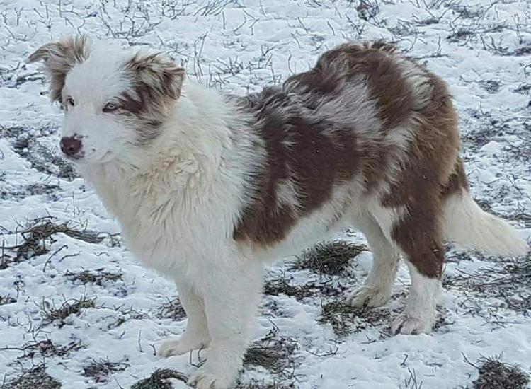 Disponibili bellissimi cuccioli border collie