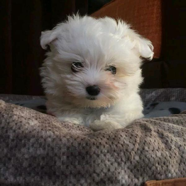 Maltese dolce toy