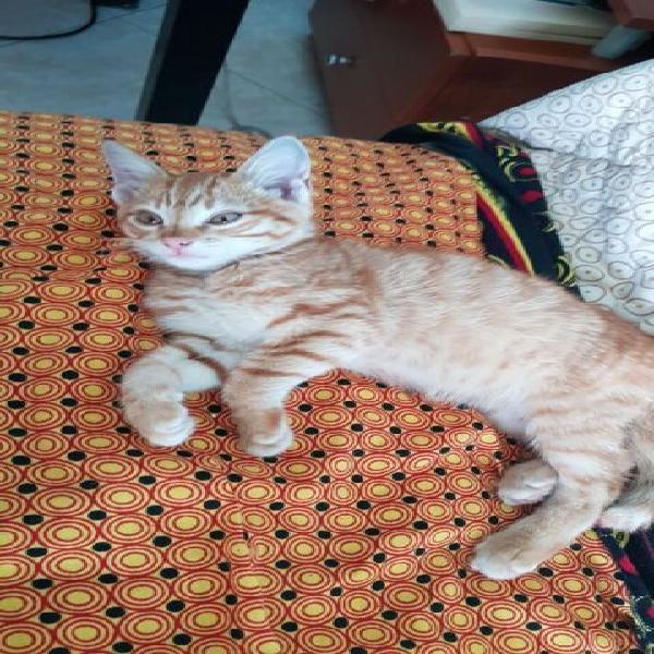 Gattino maschio rosso due mesi