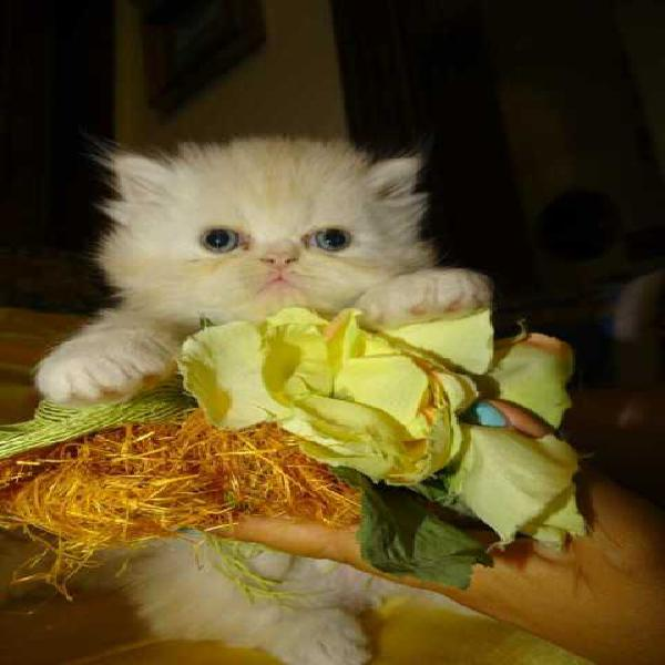 Stupendi cuccioli di gatto persiano