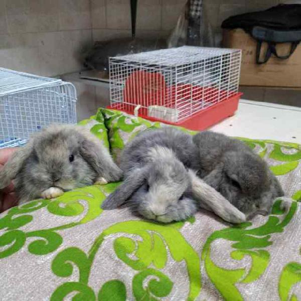 Conigli nani ariete minilop vari colori