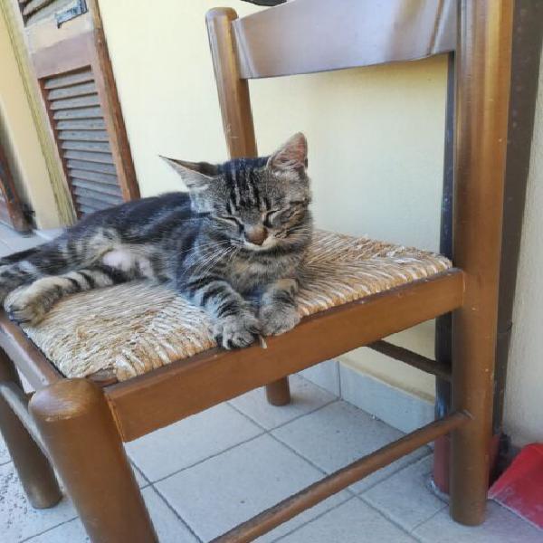 Dolce gattina tigrata in adozione