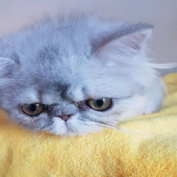 Gatti di persiano