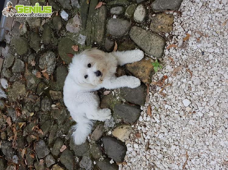 Cerco cagnolina di piccola taglia per accoppiamento con mio