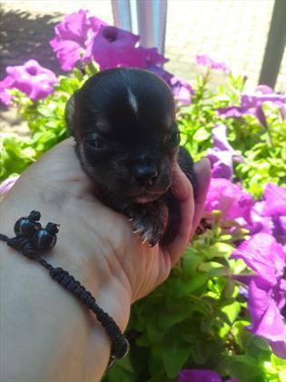 Chihuahua toy e mini toy