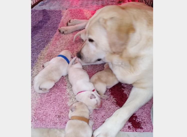 Disponibili cuccioli di labrador retriever gialli