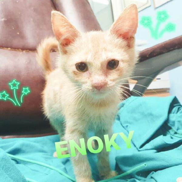 Enoky 2 mesi, gattino con piccolo handicap