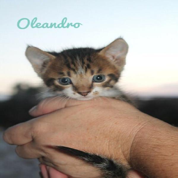 Oleandro tigre nel corpo di gattino