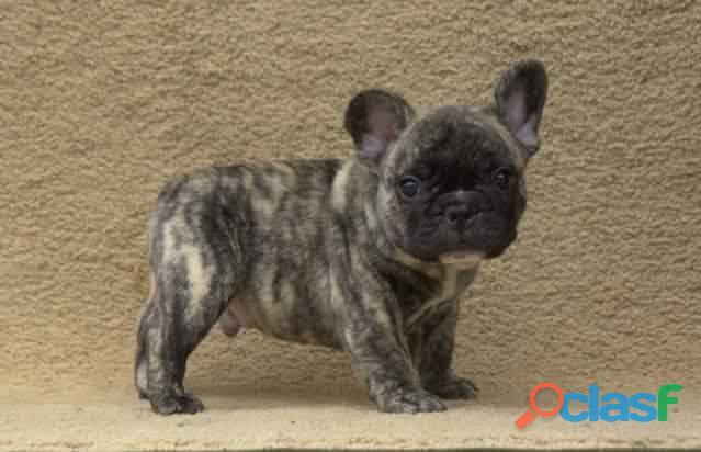 Bulldog francese maschili e femminili pronti per l'adozione a frosinone