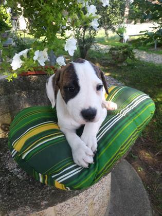 American staffordshire cuccioli