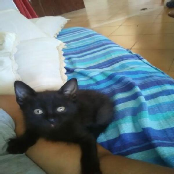Gattino nero 2 mesi