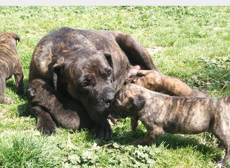 Cane corso italiano cuccioli
