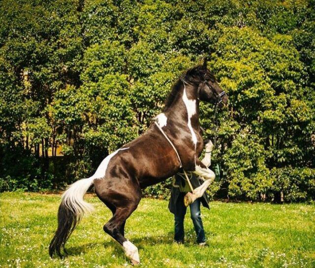 Cavallo intero